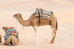 Camels in the Sahara desert, Tunisia, Africa royalty free stock photography