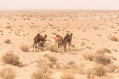 Camels in Sahara desert in Tunisia Royalty Free Stock Image