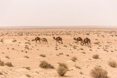 Camels in Sahara desert in Tunisia Royalty Free Stock Images