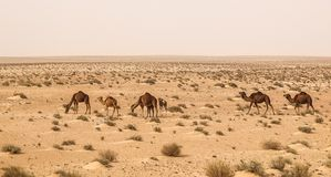 Camels in Sahara desert in Tunisia Stock Photography