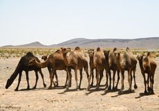 Camels in Sahara in Morocco. The Camels in Sahara. Morocco Stock Image