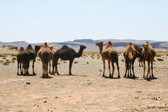 Camels in Sahara in Morocco Royalty Free Stock Image