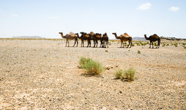 Camels in Sahara in Morocco Royalty Free Stock Photography