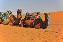 Camels in the Sahara in Morocco lie on the sand and wait for the tourists. royalty free stock photo