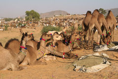 Camels for Sale at the Pushkar Fair Stock Photography