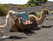Camels in San antonio Volcano of La Palma Stock Photos