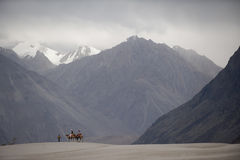 Camels on sand desert, nubra valley. India royalty free stock image
