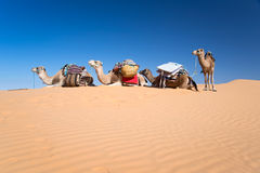 Camels in the Sand dunes desert of Sahara Royalty Free Stock Photo