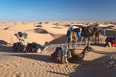 Camels in the Sand dunes desert of Sahara Royalty Free Stock Images
