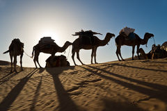 Camels in the Sand dunes desert of Sahara Royalty Free Stock Photography
