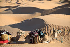 Camels in the Sand dunes desert of Sahara Royalty Free Stock Image
