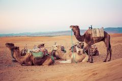 Camels on the sand dunes in the Sahara Desert. Morocco, Africa. Stock Images