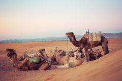 Camels on the sand dunes in the Sahara Desert. Morocco, Africa. Royalty Free Stock Images