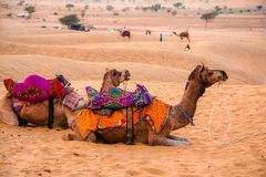 Camels and sand dunes Stock Photo