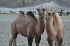 Camels on sand. Two camels on sand together having two humps stock photo