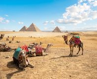 Camels in sandy desert. Near pyramids at day stock photography