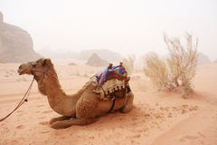 Camels in the sandy desert - Wadi Rum, Jordan Stock Photo