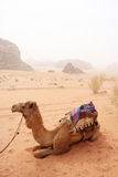 Camels in the sandy desert - Wadi Rum, Jordan Stock Photos