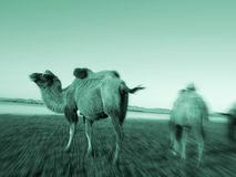 Camels Scenic Nature Animals Travel Concept Royalty Free Stock Photos