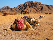 Camels seating against a mounting background Stock Images