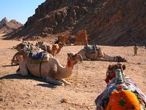 Camels seating against a mounting background Stock Photos