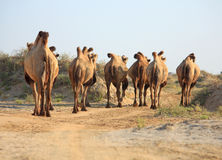 Camels in semi-desert nearly baia de zaburunie at Caspian sea. Kazakhstan Royalty Free Stock Photo