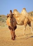 Camels in semi-desert nearly baia de zaburunie at Caspian sea. Kazakhstan Stock Photos