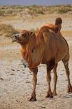 Camels in semi-desert nearly baia de zaburunie at Caspian sea. Kazakhstan Royalty Free Stock Photos