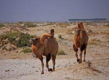 Camels in semi-desert nearly baia de zaburunie at Caspian sea. Kazakhstan Stock Photography