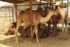 Camels in shade Royalty Free Stock Images