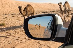 Camels in a side view mirror. Camels walking towards vehicle and camels seen in a side view mirror Stock Photo