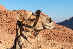 Camels in the Sinai desert Royalty Free Stock Image