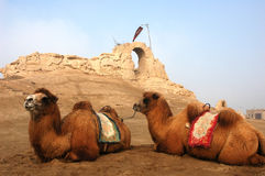 Camels sitting at a castle Stock Photography