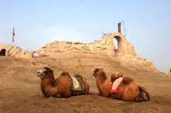 Camels sitting at a castle Stock Images
