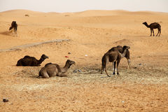 Camels 1. Some camels in the desert of Morocco Royalty Free Stock Photos