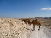 Camels stand on the road in the desert Royalty Free Stock Photo