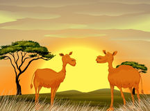 Camels standing in the field at sunset Royalty Free Stock Images