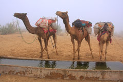 Camels standing by water reservoir in a morning fog, Thar desert Royalty Free Stock Image