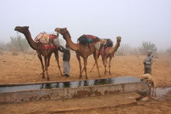 Camels standing by water reservoir in a morning fog, Thar desert stock photography