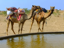 Camels standing by water reservoir in a small village during cam Royalty Free Stock Images