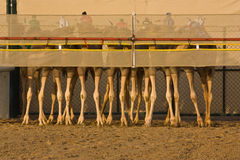 Camels at the start of a race. Stock Photography