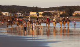 Camels on Stockton Beach.  Anna Bay. Australia. Stock Photos