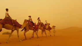 Camels in a sand storm royalty free stock photo