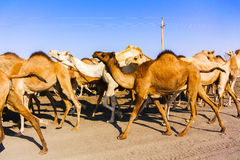 Camels in Sudan Royalty Free Stock Images
