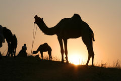 Camels at sunset Royalty Free Stock Images