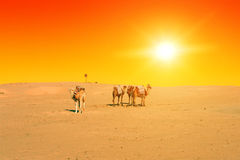Camels at Sunset Royalty Free Stock Image