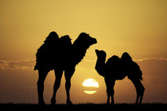 Camels at sunset Royalty Free Stock Photos
