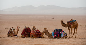 Camels in the Syrian desert. Resting camels in the Syrian desert near Palmyra Royalty Free Stock Photography