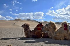 The camels take a rest on the desert´s sand dunes. The camels take a rest on the desert´s sand dunes, blue sky with white clouds in the background Royalty Free Stock Images