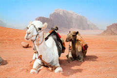 Camels take a rest in Wadi Rum red desert Royalty Free Stock Image